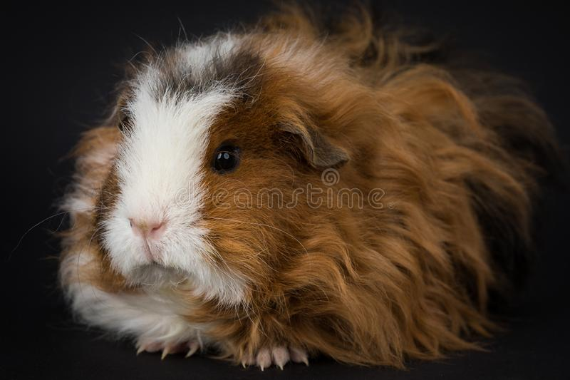 Fluffy young guinea pig royalty free stock photo