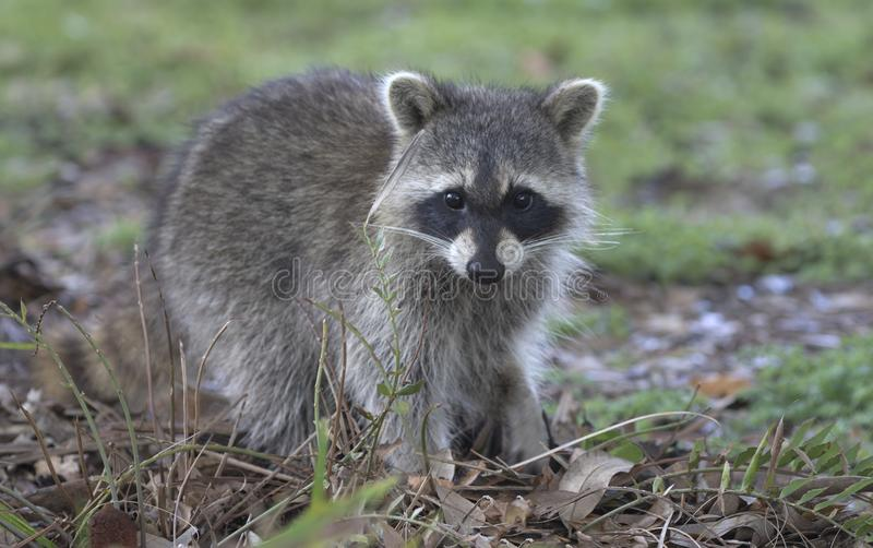 Fluffy young raccoon at Green Cay Wetlands in Florida. Healthy, winsome, young raccoon at Green Cay Wetlands in Boynton Beach, Florida, looks up from nibbling royalty free stock image