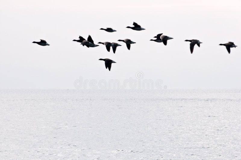Flug der Gänse lizenzfreies stockfoto