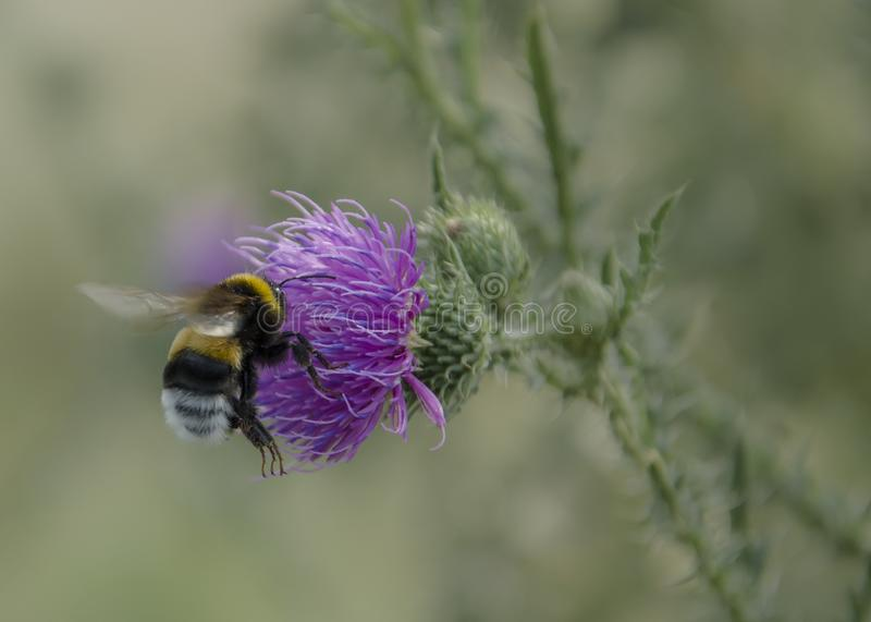 Flug der Hummel über der Blume stockfotos