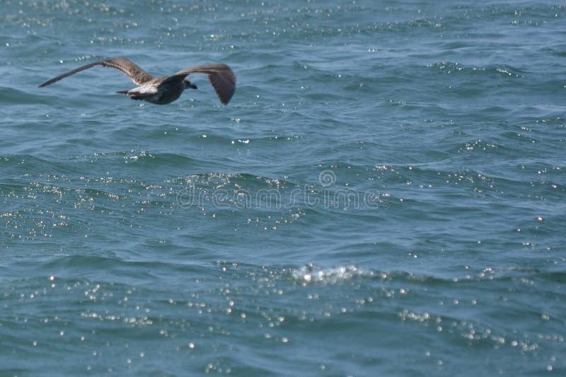 Fluga av seagullen royaltyfria foton