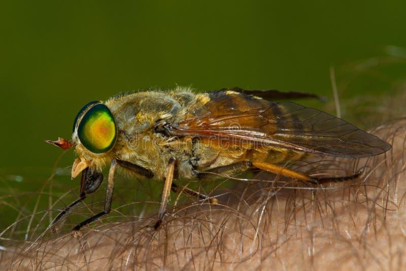 Fluga för kvinnlig häst på mänskligt bita för hud arkivbilder