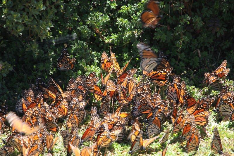 Fluga för monarkfjärilar royaltyfri bild