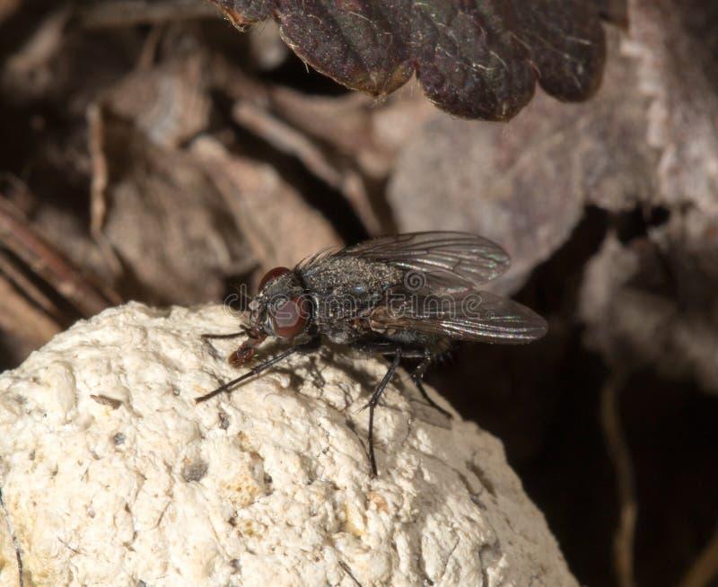 Fluga i natur Makro fotografering för bildbyråer