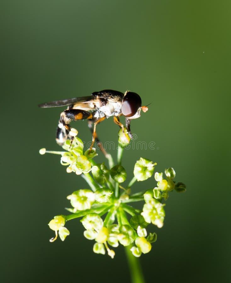 Download Fluga i natur marco fotografering för bildbyråer. Bild av plåga - 106834559