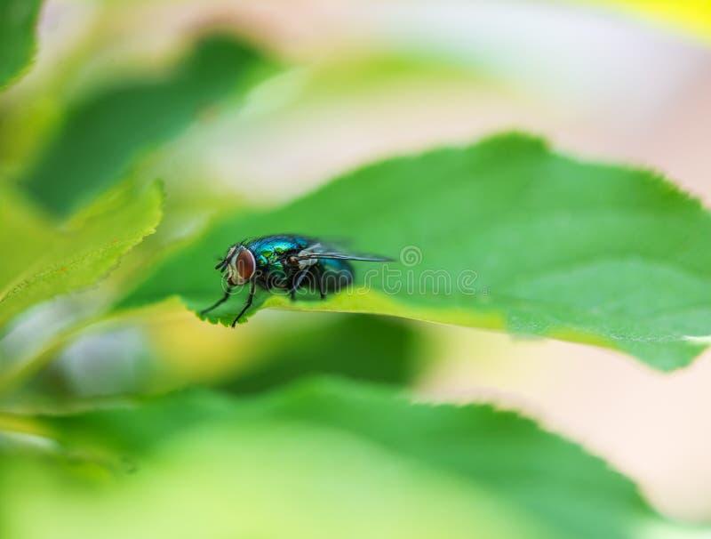 Fluga med enorm röd ögonnärbild på ett blad royaltyfria foton