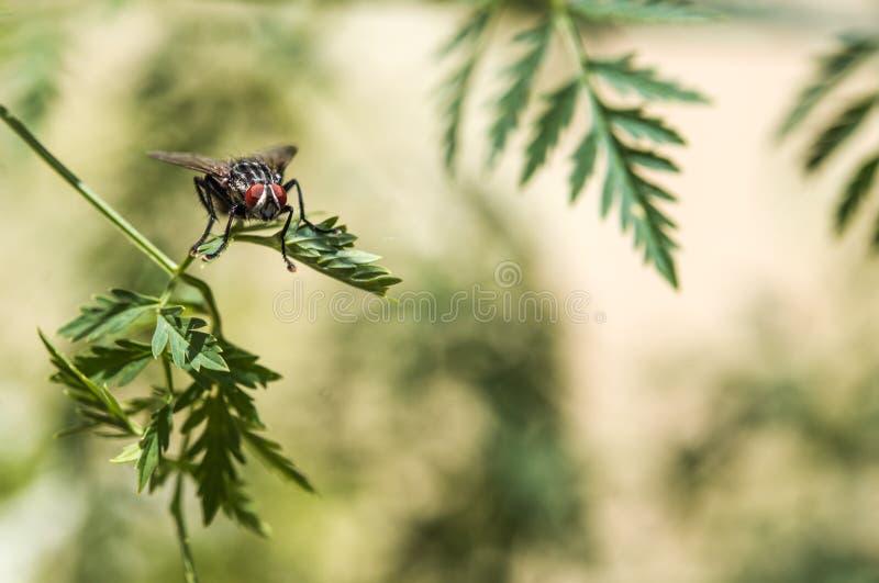 Fluga med enorm röd ögonnärbild på ett blad royaltyfri fotografi