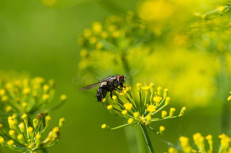 Fluga på gula blommor fotografering för bildbyråer