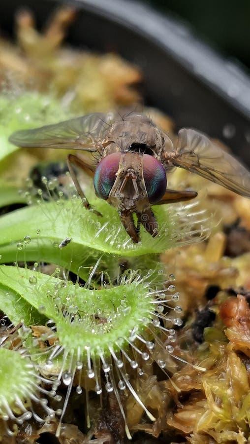 Fluga som fångas på droserasessilifolia eller sileshår Köttätande växter tilldrar krypet för att landa på dem därefter för att kl arkivbild