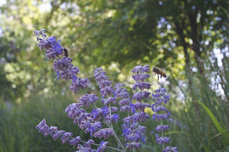 Flugan för upptagna bin omkring på de purpurfärgade blommorna royaltyfri fotografi