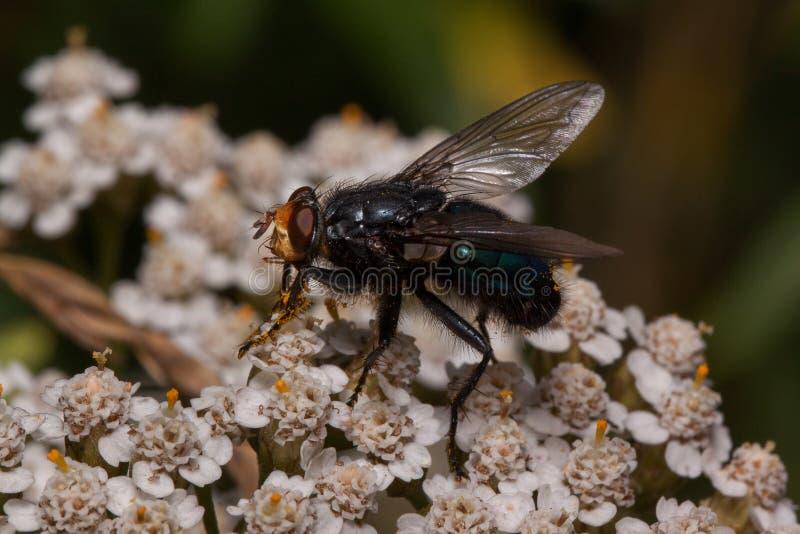 Flugan sitter på blommor för en yarrow Djur i djurliv arkivfoton
