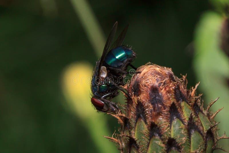 Flugan sitter på den unblown tistelblomman Djur i djurliv arkivfoto