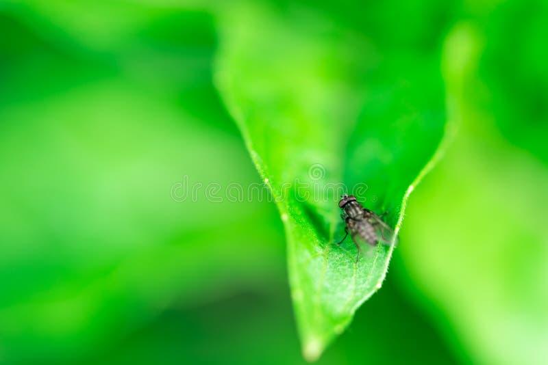 Flugan sitter på ett blad, Muscadomesticaen, makrofoto arkivbilder