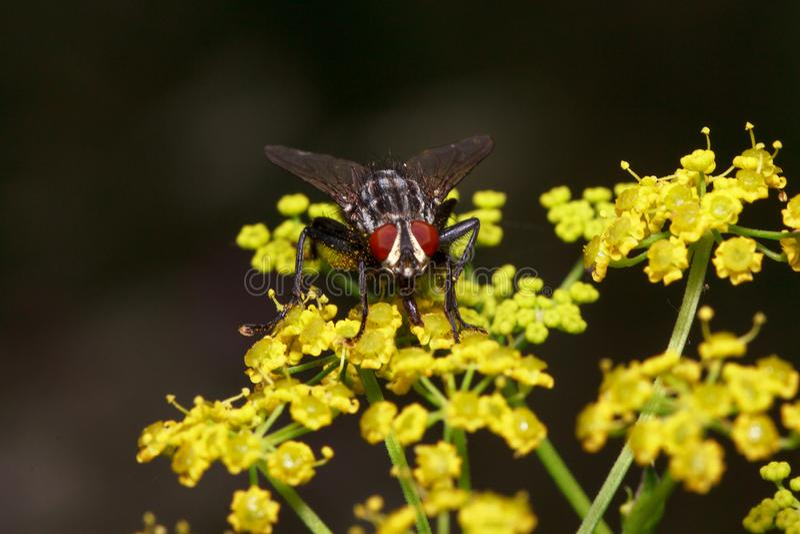 Flugan sitter på små gula blommor Djur i djurliv royaltyfri fotografi