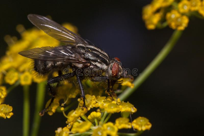 Flugan sitter på små gula blommor Djur i djurliv royaltyfria foton
