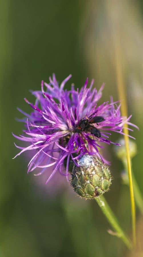 Flugor på en lös blomma fotografering för bildbyråer