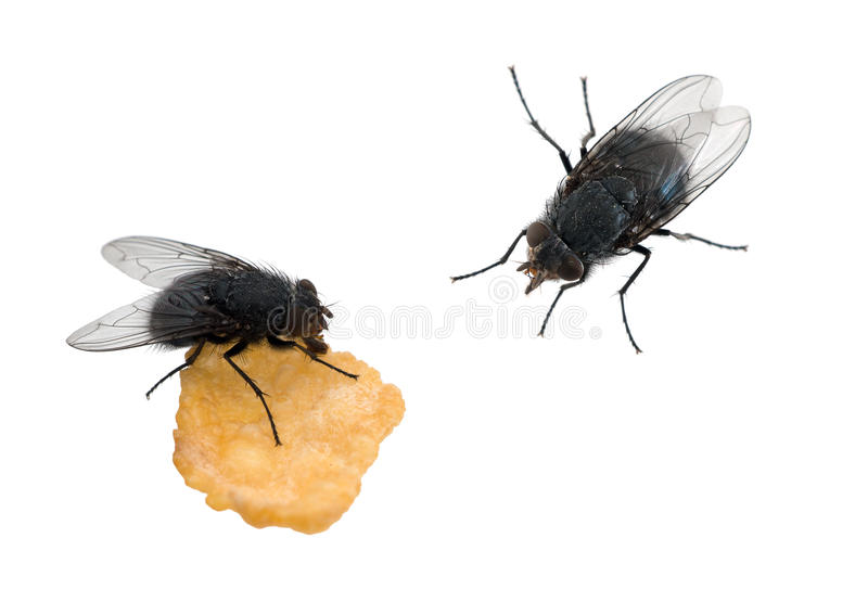 Flugor som isoleras över vit - en som äter arkivbilder