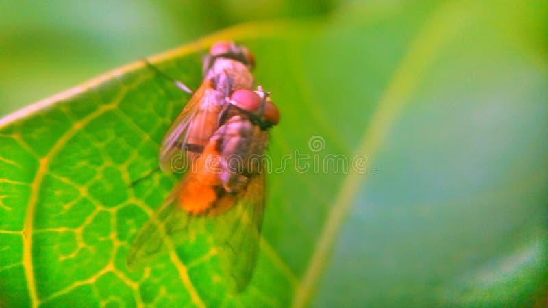 flugor två arkivbilder