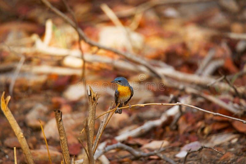 Flugsnappare för blått för Tickell ` s, Cyornis tickelliae, Panna Tiger Reserve royaltyfri fotografi