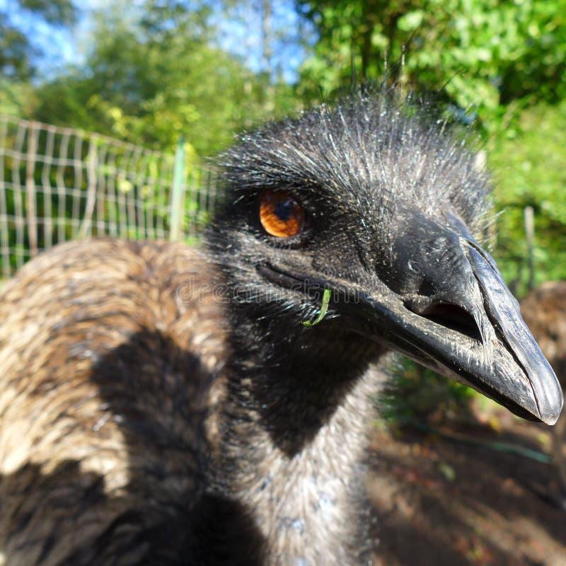 Flugunfähiger Vogel des männlichen Emus des Haustieres stockfoto