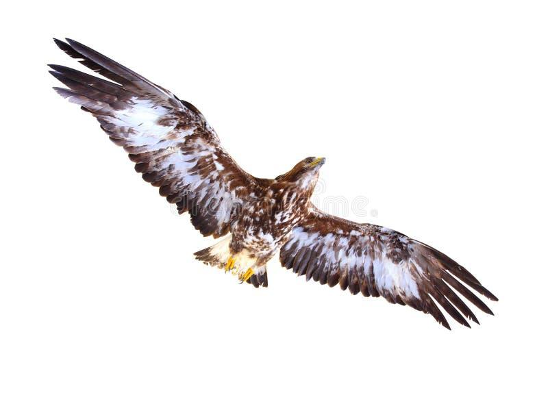 Flugwesen des goldenen Adlers lizenzfreie stockbilder
