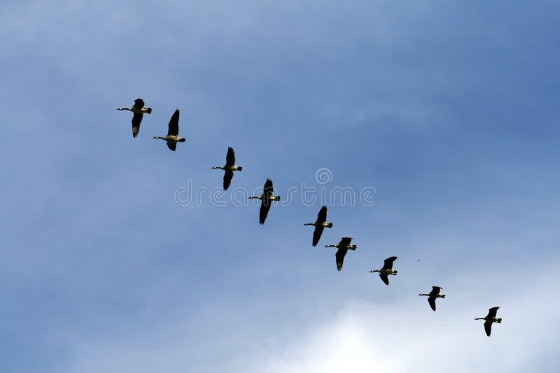 Flugwesen-Gänse stockbild