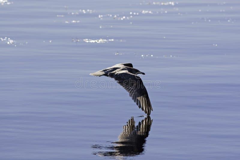 Flugwesen-Möven-Flügel, die Wasser gleiten stockfotos