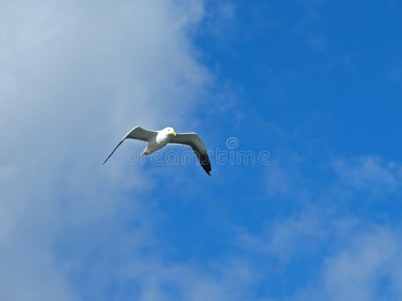 Flugwesen-Seemöwe im blauen Himmel lizenzfreie stockfotos