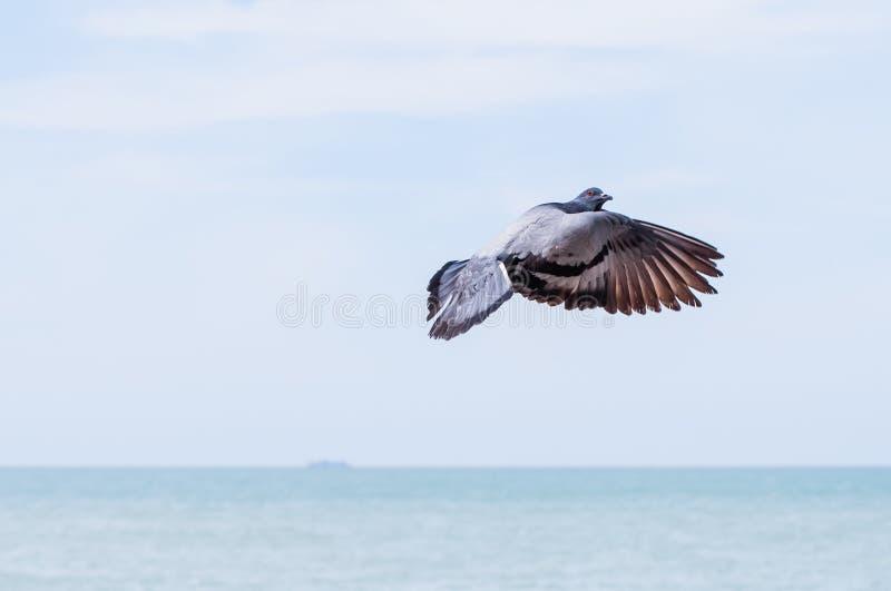 Flugwesen-Taube lizenzfreie stockfotografie