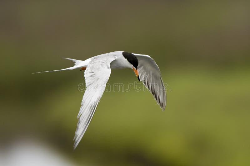 Flugwesen-Vogel lizenzfreie stockbilder