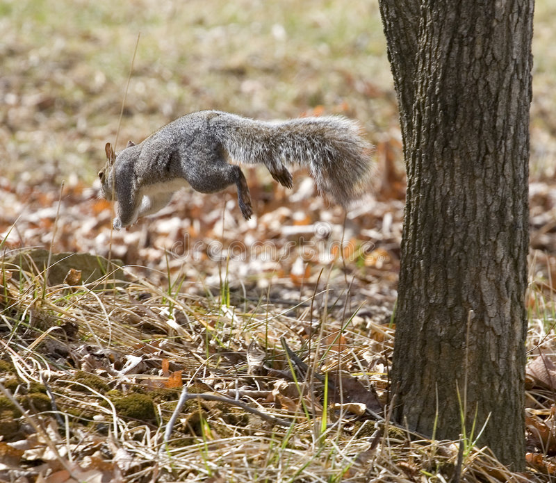 Flugweseneichhörnchen lizenzfreie stockfotos