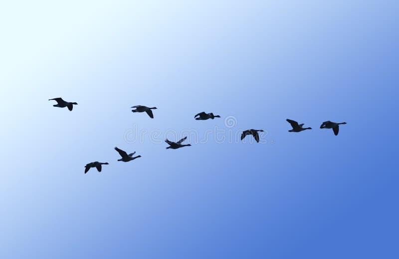 Flugwesengänse stockbild