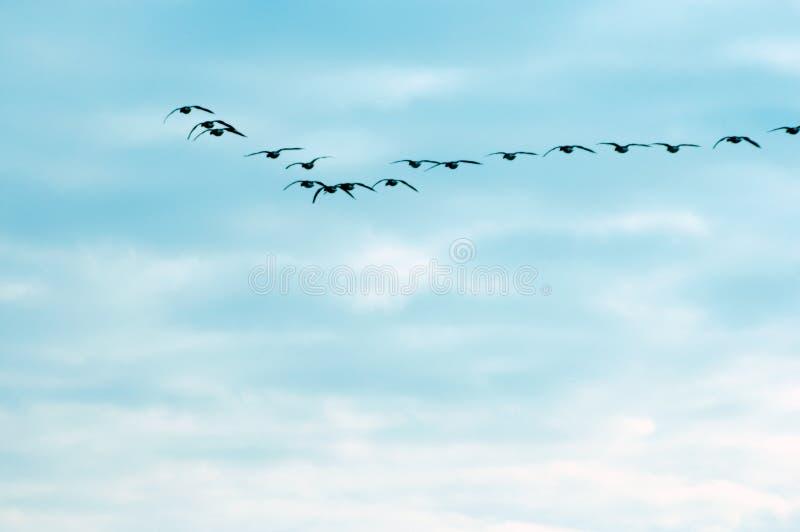Flugwesengänse gegen den blauen Himmel lizenzfreie stockfotos