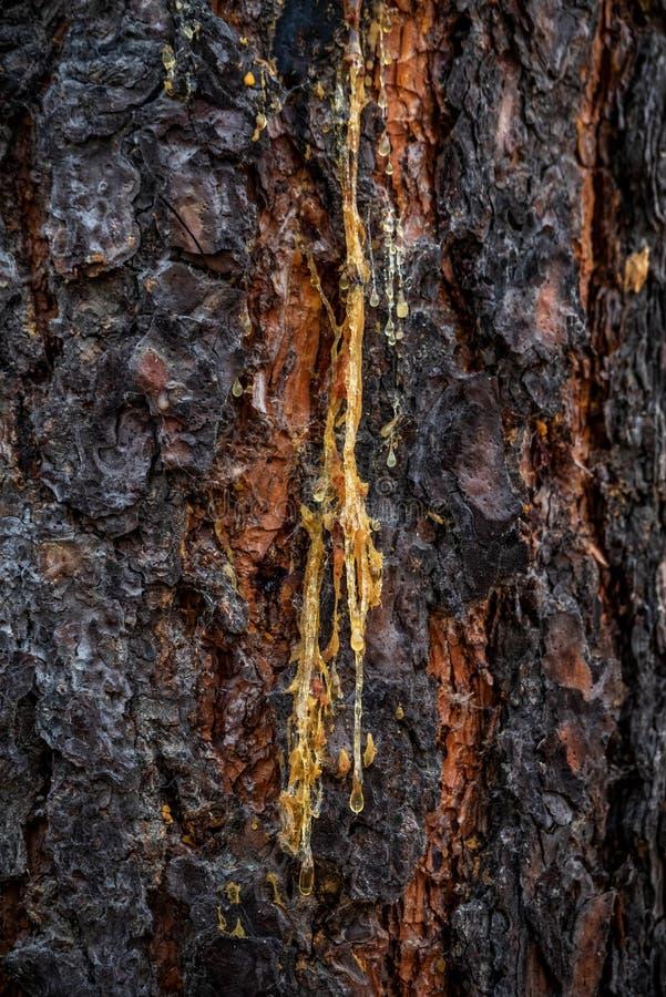 Flujo de la savia del árbol fotos de archivo libres de regalías