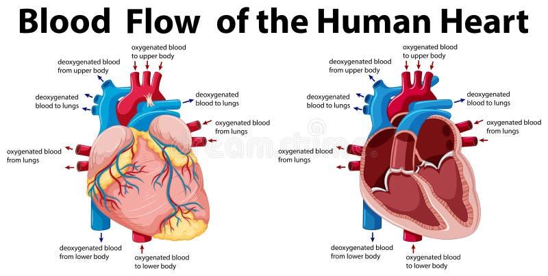 Flujo de sangre del corazón humano stock de ilustración