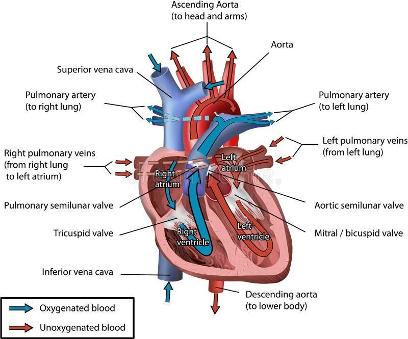 Flujo de sangre humano del corazón stock de ilustración