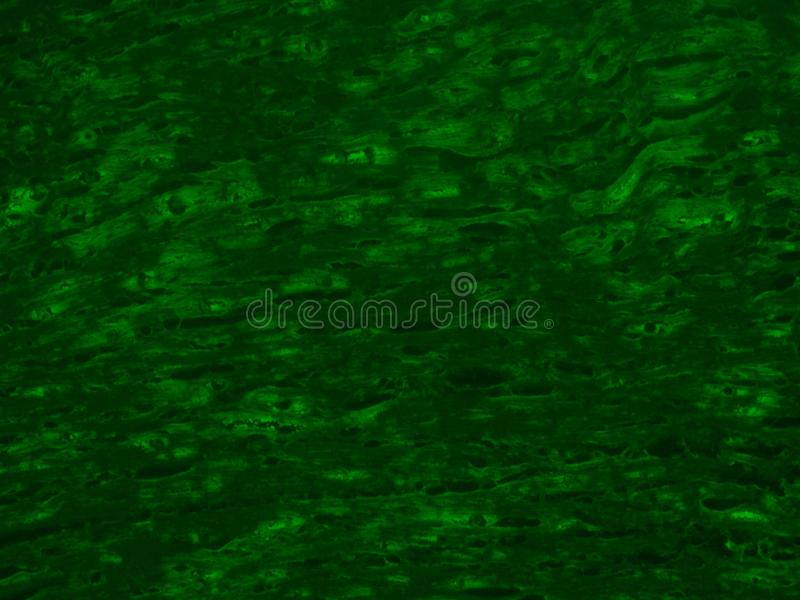 Fluorescence of cardiac muscle royalty free illustration