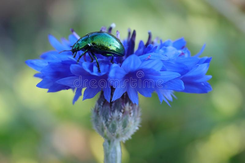 Fluorescent beetle on a blue flower royalty free stock photo