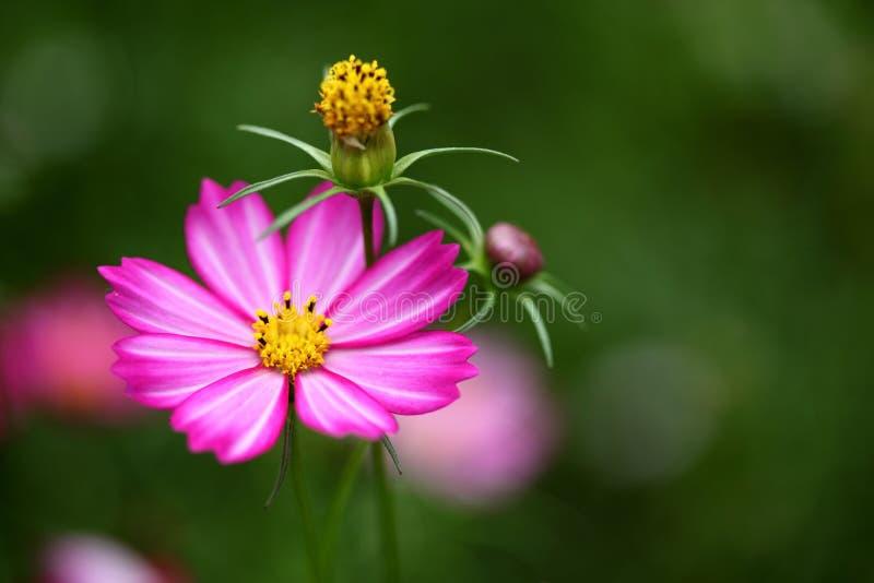 fluorescerande pink för blomma fotografering för bildbyråer