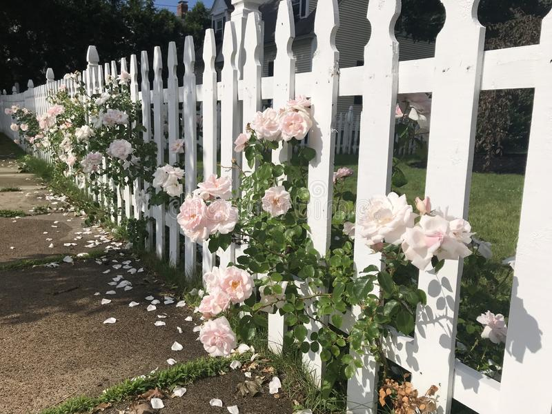 Pink Roses on White Picket Fence royalty free stock photo