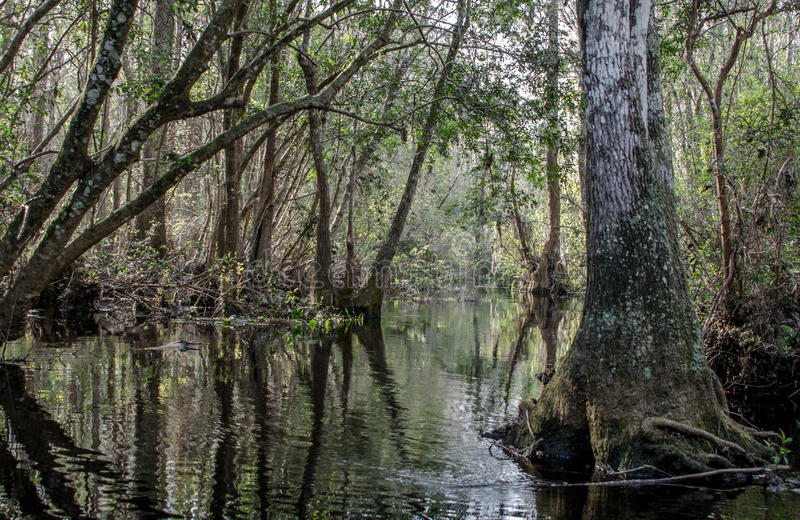 Fluss verengt Kanu-Spur, Okefenokee-Sumpf-Staatsangehörig-Schutzgebiet lizenzfreie stockfotos