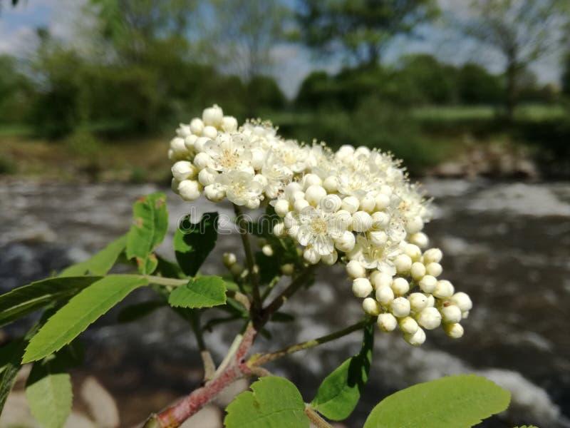 Flussblume lizenzfreie stockbilder