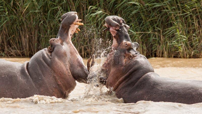 Flusspferd-Angriff lizenzfreie stockfotos