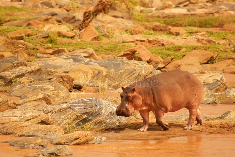 Flusspferd auf der Bank des Flusses in Afrika lizenzfreie stockbilder