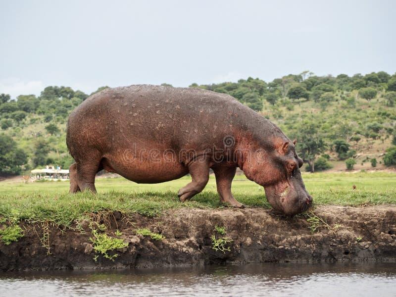 Flusspferd, das in den Fluss kommt stockfotografie