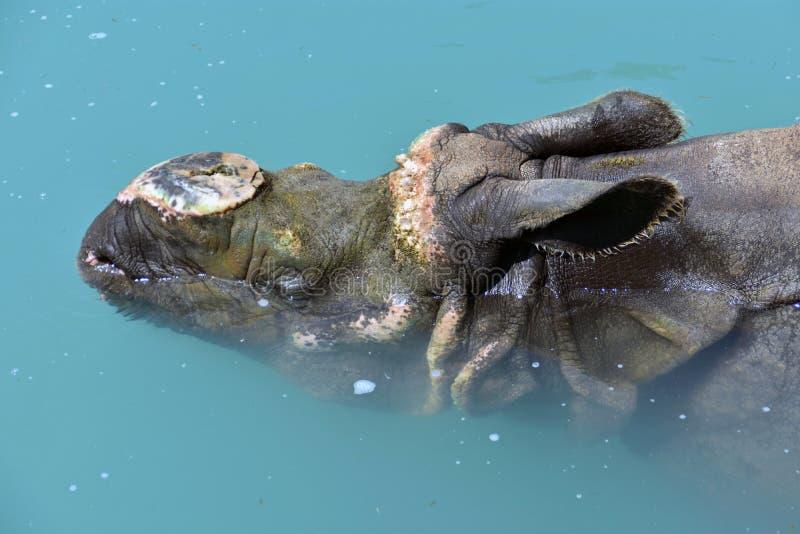 Flusspferd, das im Wasser sich entspannt lizenzfreies stockfoto