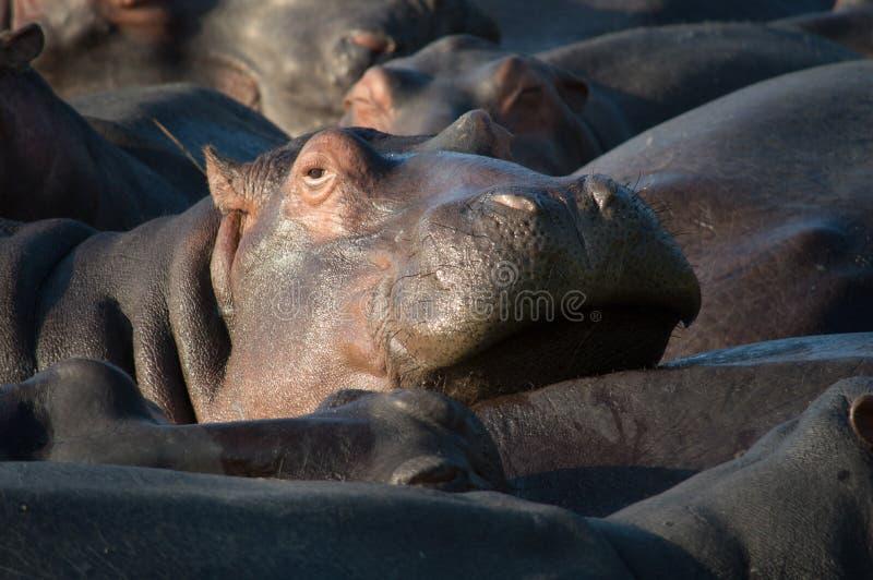 Flusspferd, das in Südafrika St Lucia sich entspannt lizenzfreies stockfoto