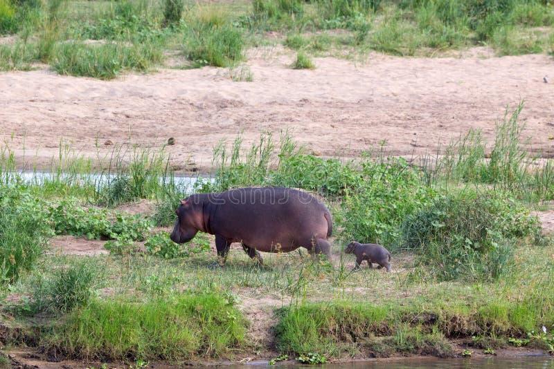 Flusspferd Familie stock images