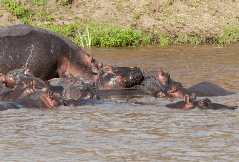 Flusspferd im Mara-Fluss, Kenia lizenzfreies stockbild