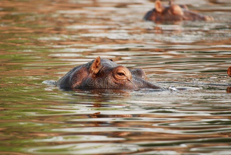 Flusspferd im Zambezi-Fluss stockbild